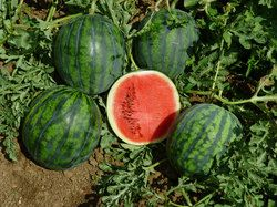 nunhems italien stellt mini wassermelone vor fruchtportal. Black Bedroom Furniture Sets. Home Design Ideas
