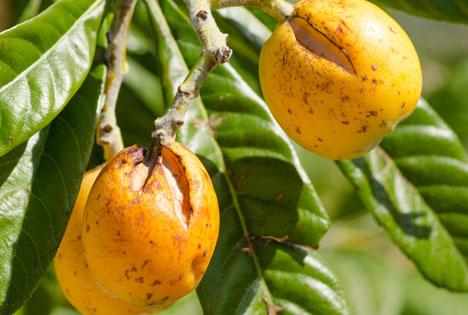 Bildquelle: Shutterstock. Obst Hagelschäden