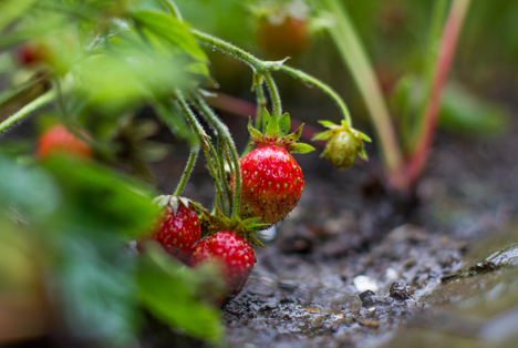 Bildquelle: Shutterstock.com Erdbeeren Regen