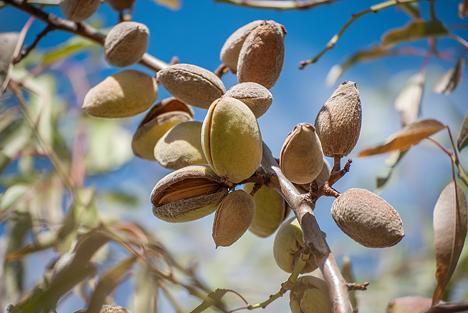Agroscope untersucht Potenzial für Mandelanbau in der Schweiz