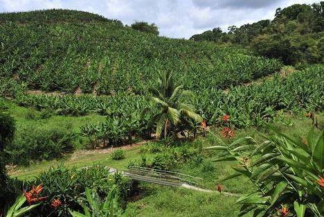 Bildquelle: Shutterstock.com Bananen plantation Martinique