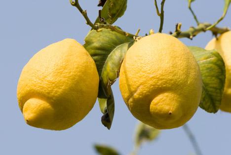 Spanien: Murcias Zitronenertrag um ein Drittel reduziert