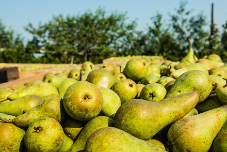Bildquelle: Shutterstock.com Birnen