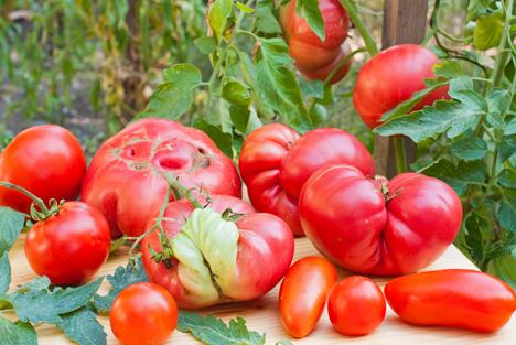 Bildquelle: Shutterstock.Tomaten hässlich Unschön