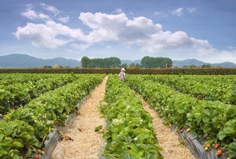 England: Größere Erdbeerproduktion erwartet