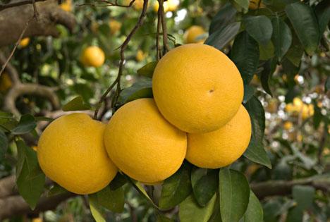 Bildquelle: Shutterstock.com Grapefruit