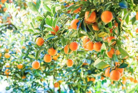 Bildquelle: Shutterstock. Orangen Baum
