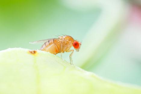 Bildquelle: Shutterstock.com Fruitfly Drosophilidae