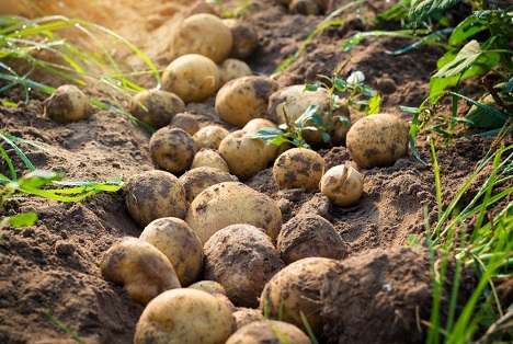 Bildquelle: Shutterstock.com Kartoffelfeld