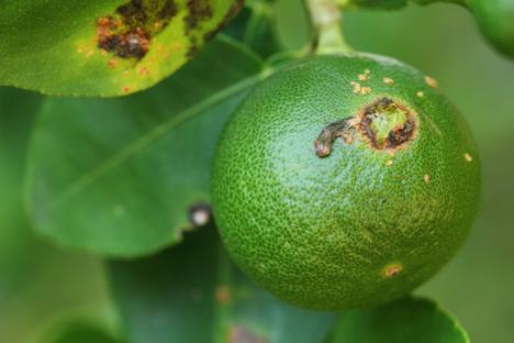 Bildquelle: Shutterstock. Citrus Greening