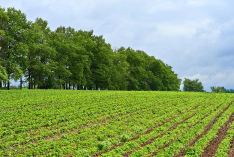 Geringe Erdbeerernte in Thüringen