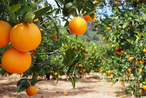 Bildquelle: Shutterstock.com Orangen