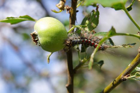 Bildquelle: Shutterstock.com Raupe Schwammspinner Apfelbaum Gypsy moth (Lymantria dispar)