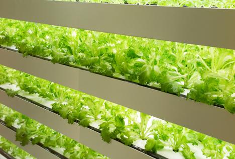 Hightech-Farmen in Singapur bauen Kaltwettererträge an