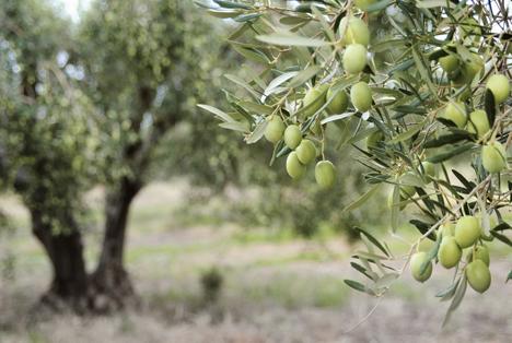 Bildquelle: Shutterstock.com Olivenbaum