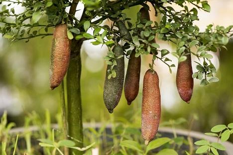 Bildquelle: Shutterstock. Fingerlimetten australien