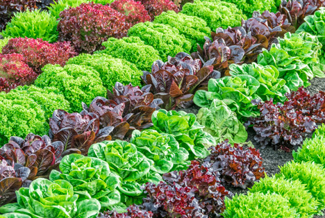 Bildquelle: Shutterstock. Salatsorten