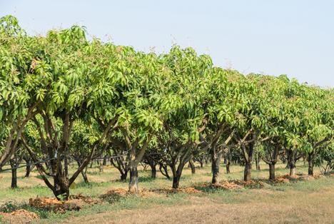 Perus Mango-Vereinigung bewertet Vorhersage für Mango-Exporte neu