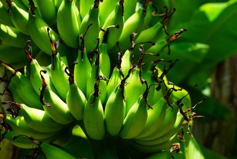 Bildquelle: Shutterstock. Bio Bananen