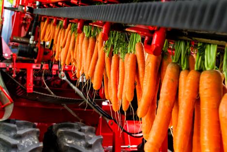 Bildquelle: Shutterstock.com  Möhren und Karotten