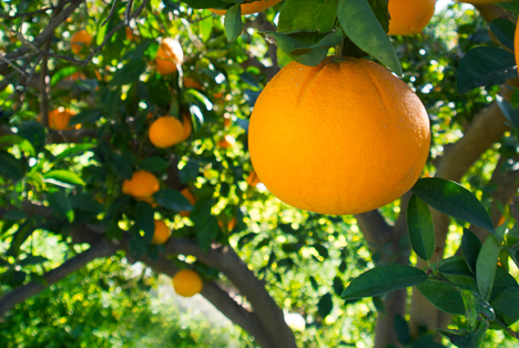 Bildquelle: Shutterstock. Orangen