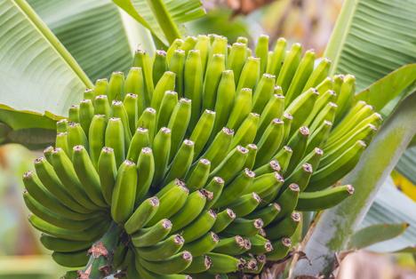 Durchbruch: Die weltweit erste Cavendish-Banane mit Resistenz gegen Panama-Krankheit