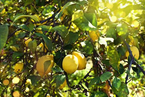 Bildquelle: Shutterstock. Zitronen