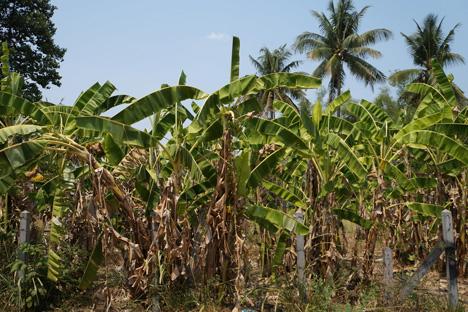 Japan: Itochu verändert asiatischen Bananenanbau für größere Erträge