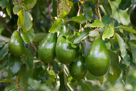 Bildquelle: Shutterstock.com  Avocado