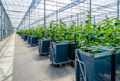 Russland verstärkt seine Gemüseproduktion weiter um 29% - Rekordsaison erwartet