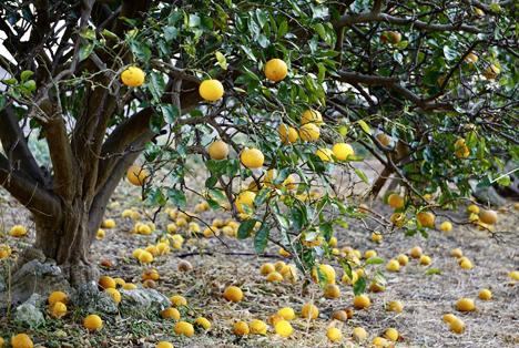 Bildquelle: Shutterstock.com Orangen Baum gestürzte