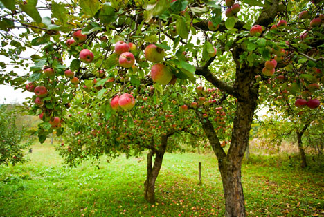 22 Prozent der Obstbaumflächen in Sachsen-Anhalt werden vollständig ökologisch bewirtschaftet