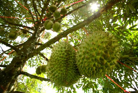 Bildquelle: Shutterstock.com Durian