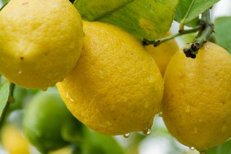 Zitrusfrüchte in Top-Qualität auch für den deutschen Markt Zitrus