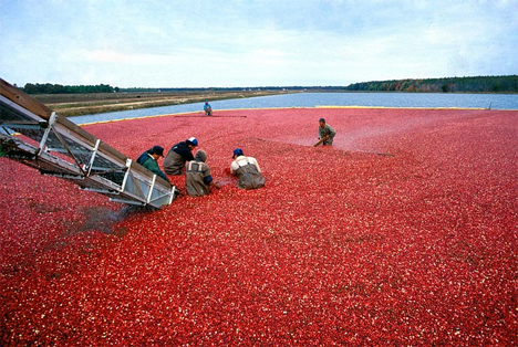 Cranberry Ernte
