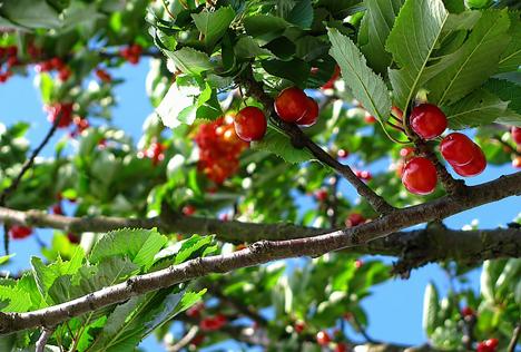 Kirschenbaum
