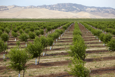 Almond Board of California © ABC  young almond trees