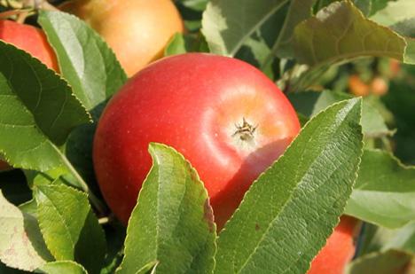 Jazz Apfelplantage Bodensee.Foto © Baywa