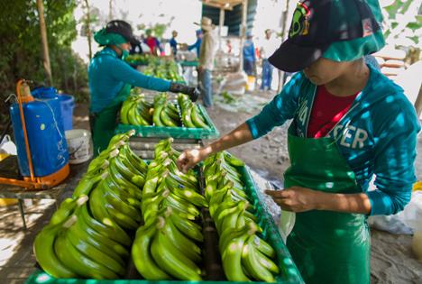 Fairtrade-Bananen Plantage Foto © TransFair eV _Santiago Engelhardt