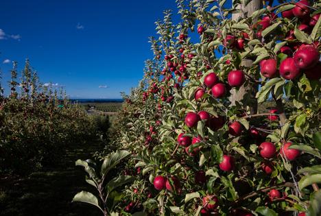 Plantage mit JAZZ™ Äpfeln. Foto © JAZZ™