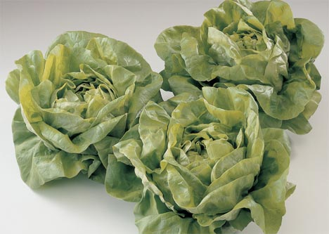 Flandria Kopfsalat