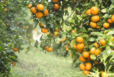 Orri-Mandarine. Foto © ORC
