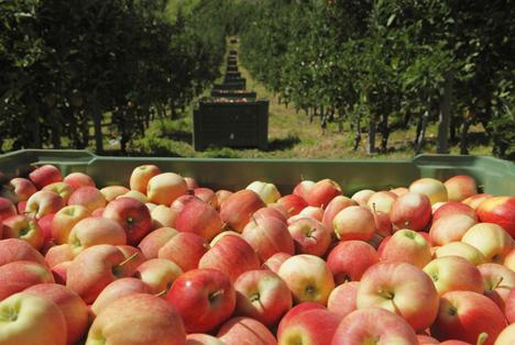 Suedtiroler Apfelernte 2016 Suedtiroler Apfel g g A