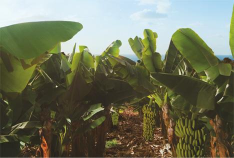 Foto © asprocan bananen zuecht