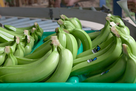 Keine krummen Dinger mit Bananen, fordert TransFair-Vorstandsvorsitzender Dieter Overath. Bild: Stefan Lechner