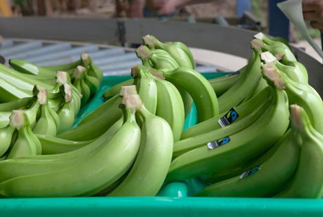 Foto © TransFair e.V. fairtrade Bananen fruit_logistica_foto_Stefan_Lechner