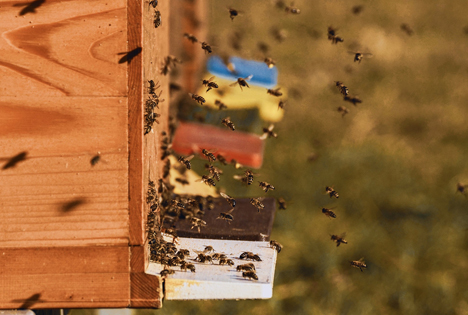 Foto © Bienen Kastten bee-colonies-4027005_1920 Suzanne Jutzeler pixabay com 2019