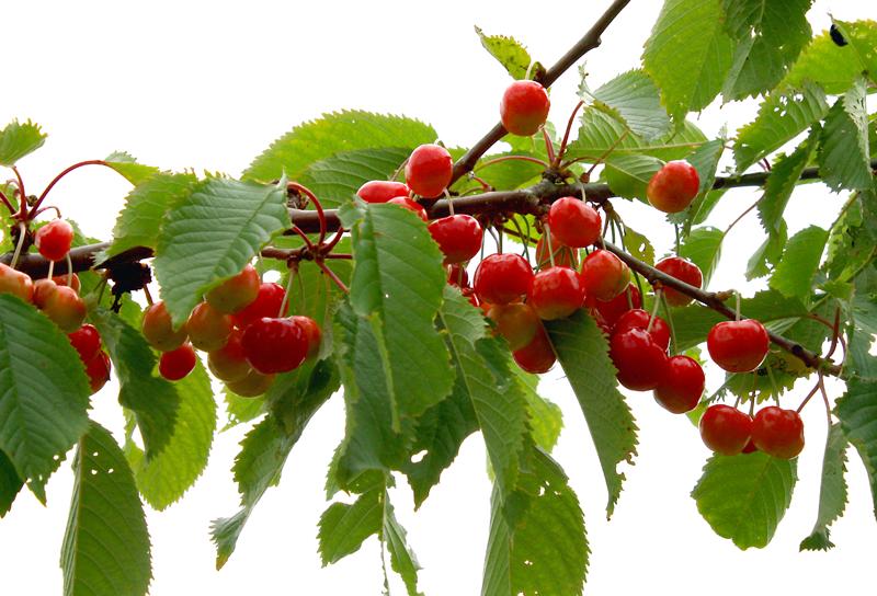 Kirschen am Baum