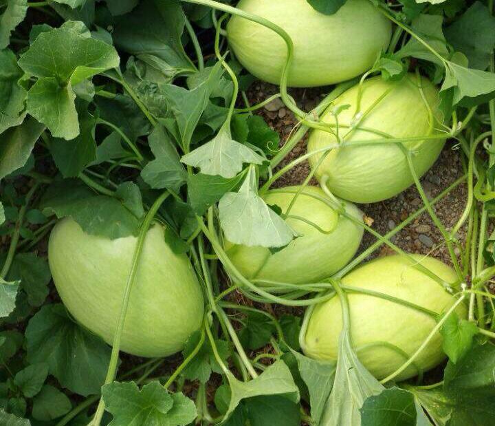 spanien zunahme der anbaufl che f r melone und wassermelone von almeria fruchtportal. Black Bedroom Furniture Sets. Home Design Ideas