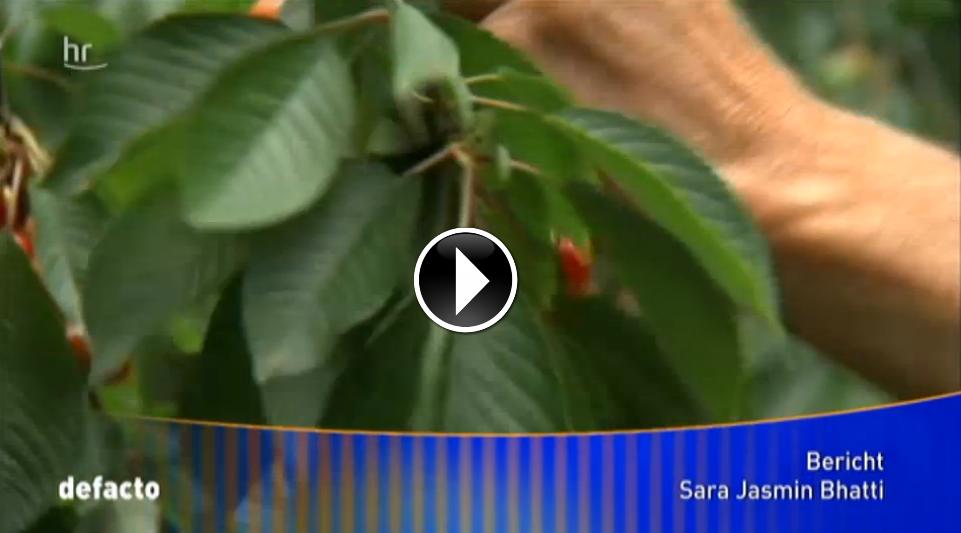 Video: Obst-Ernte in Gefahr - Kirschessigfliege frisst Felder kahl
